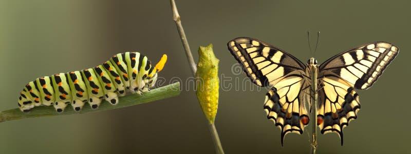 Transformacja pospolity machaon motyl wyłania się od kokonu zdjęcia royalty free