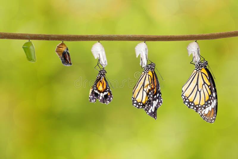 Transformatie die van gemeenschappelijke tijgervlinder uit cocon te voorschijn komen royalty-vrije stock afbeeldingen