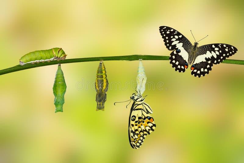 Transformatie van Kalkvlinder royalty-vrije stock afbeeldingen