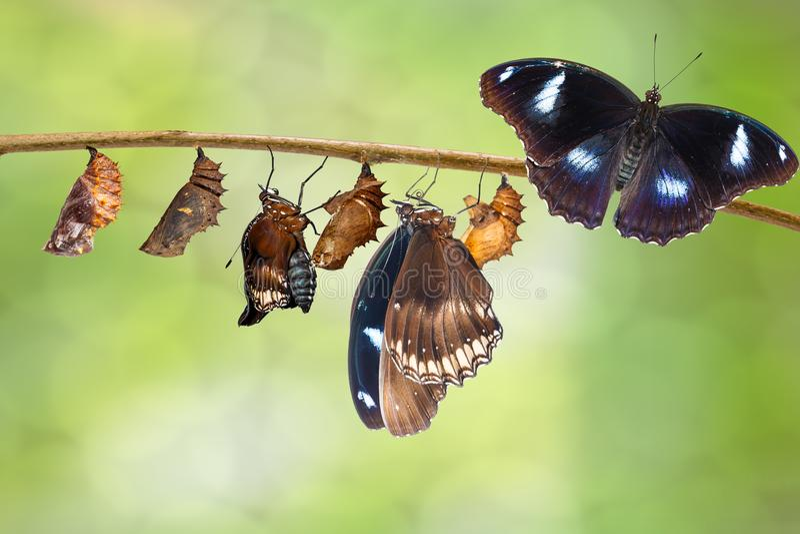 Transformatie van mannetje van rupsband aan grote eggfly butterfl royalty-vrije stock fotografie