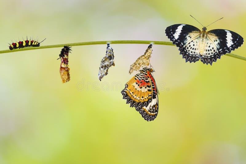 Transformatie van rupsband van Luipaard lacewing vlinder royalty-vrije stock afbeeldingen