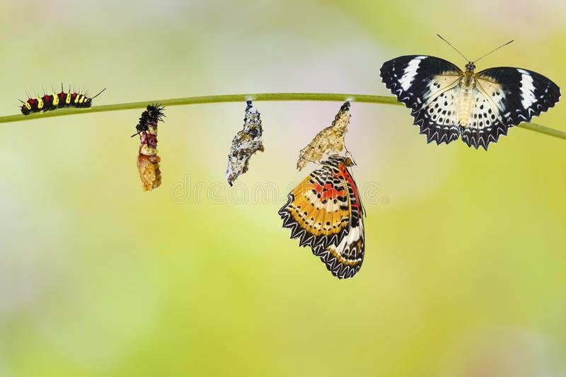 Transformation from caterpillar of Leopard lacewing butterfly. Transformation from caterpillar to caterpillar to chrysalis of Leopard lacewing butterfly Cethosia royalty free stock images