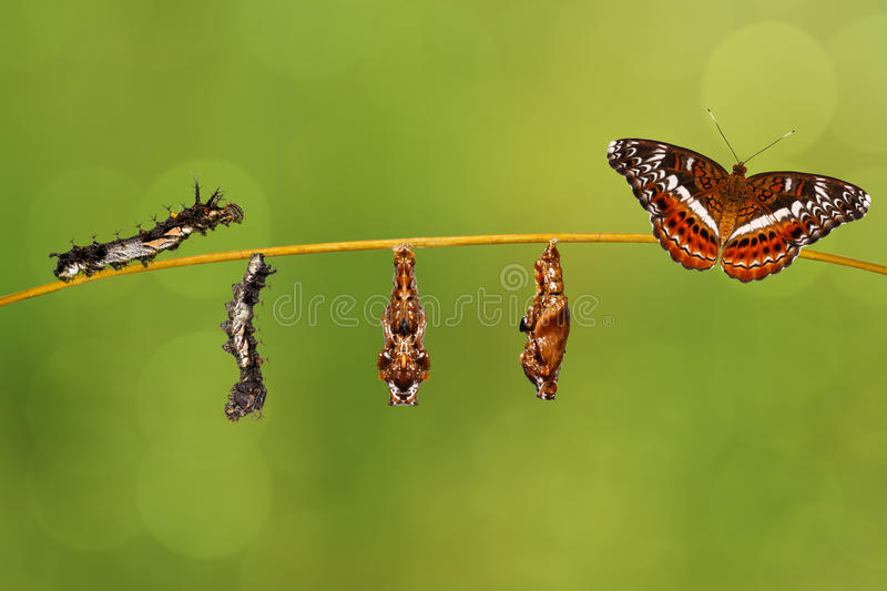 Transformation caterpillar to pupa of commander butterfly resting on twig royalty free stock photos