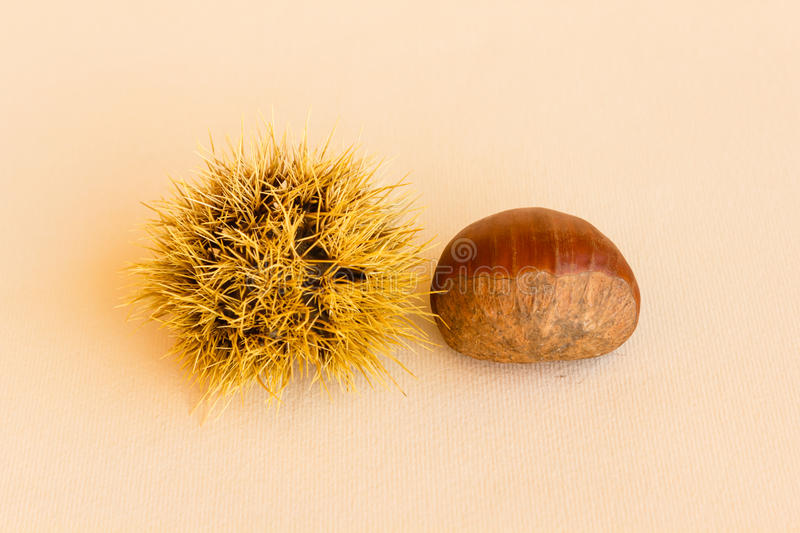 Transformation of a chestnut. The chestnut husk becomes maturing from green to dark brown and contains the chestnut royalty free stock image