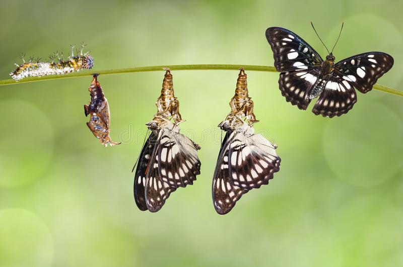 Transformation from chrysalis of Black-veined sergeant butterfly. Athyma ranga hanging on twig royalty free stock photo