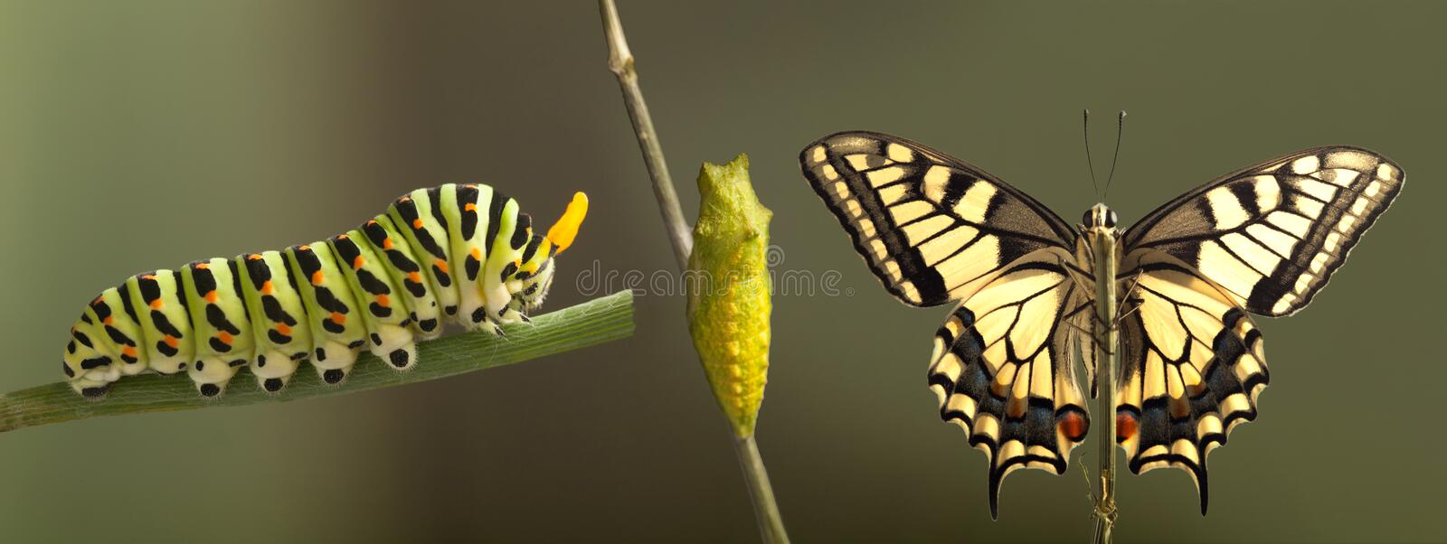 Transformation of common machaon butterfly emerging from cocoon royalty free stock photos