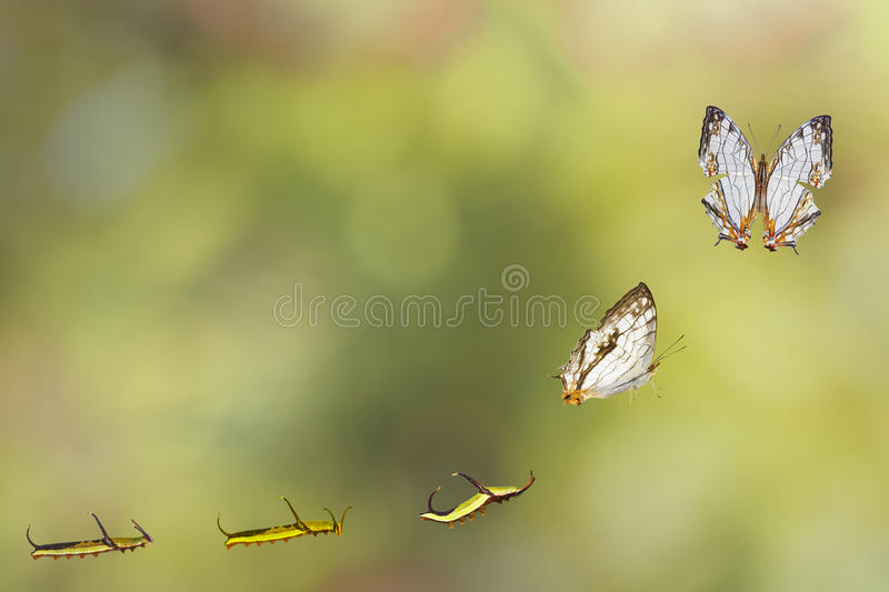 Transformation of common map Cyrestis thyodamas butterfly. From caterpillar stock photography