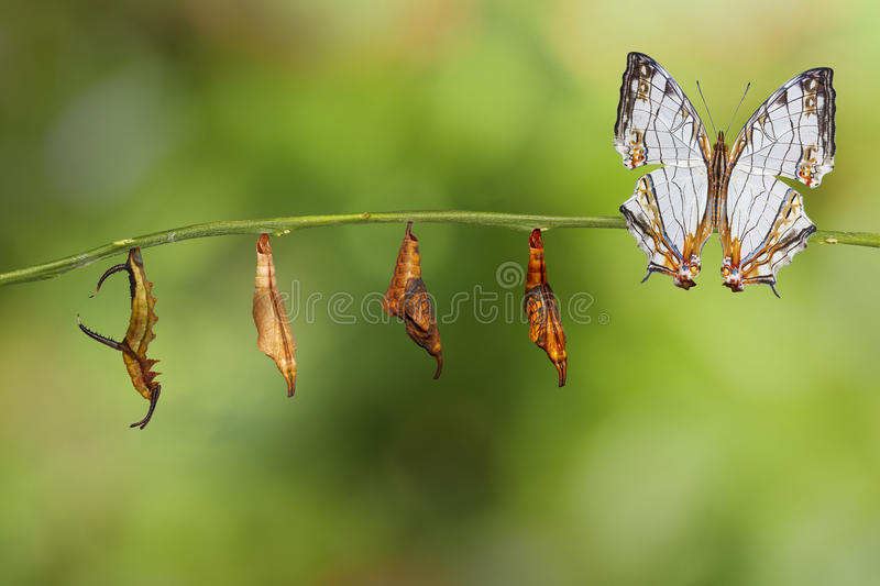 Transformation of common map Cyrestis thyodamas butterfly fro. M caterpillar on twig royalty free stock photos
