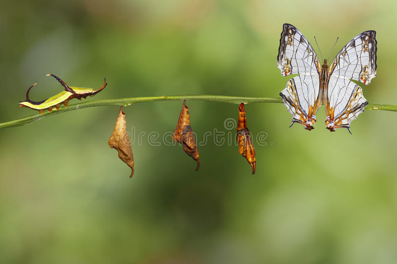 Transformation of common map Cyrestis thyodamas butterfly fro. M caterpillar on twig royalty free stock photography