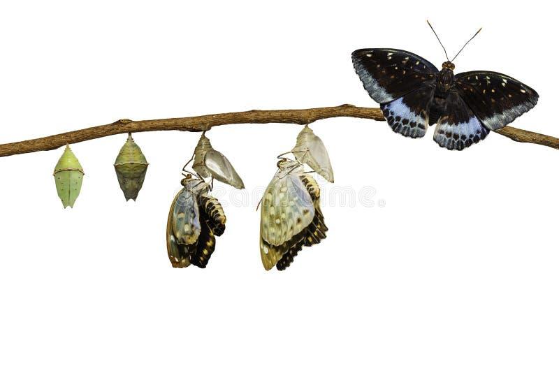 Transformation d'isolement de l'emergi commun masculin de papillon d'archiduc photographie stock