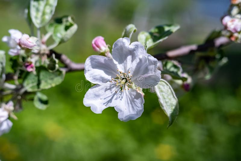 Transformation de ressort, - belles fleurs de ressort Le ressort est venu et toute la nature s'est d?velopp?e images stock