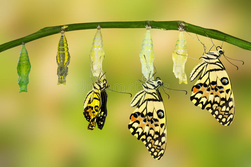 Transformation of Lime Butterfly. ( papilio demoleus stock images