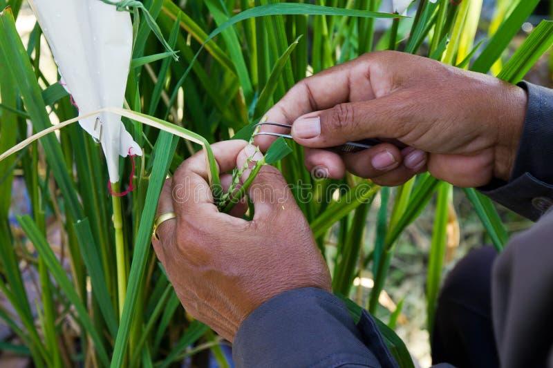 Transgenic Rice arkivfoto