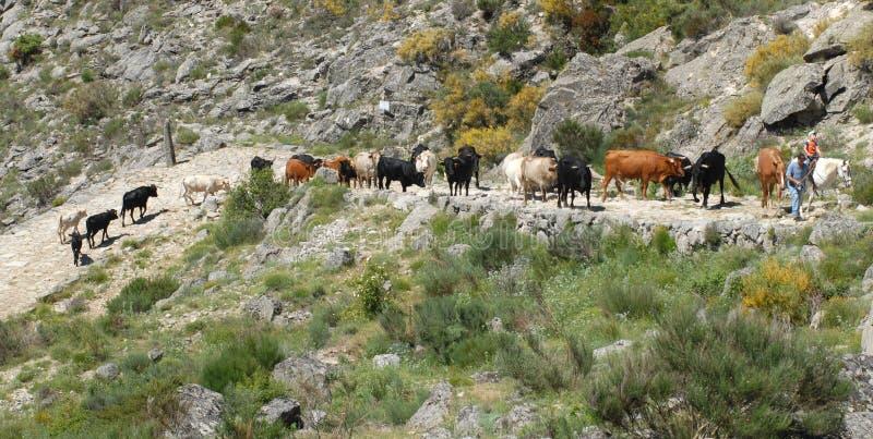 Transhumance en sierra de Gredos avila l'espagne photo libre de droits