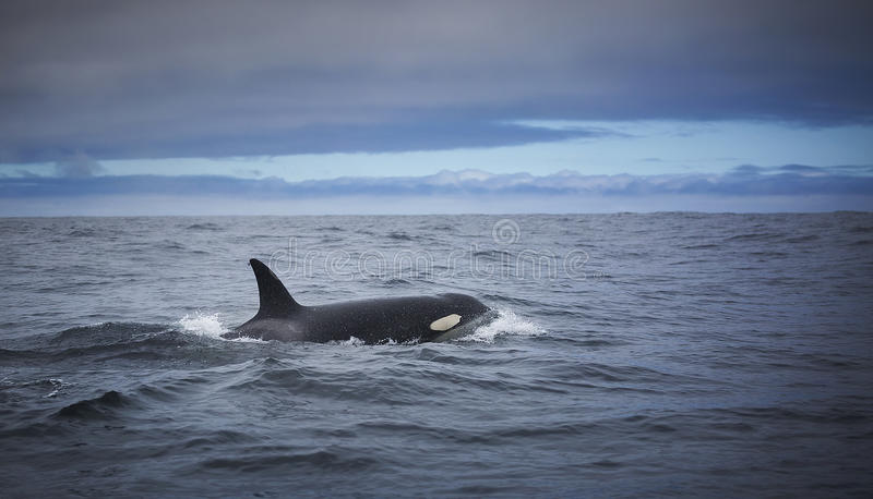 Transient Killer Whale. A female transient killer whale surfaces in Monterey Bay, California stock image