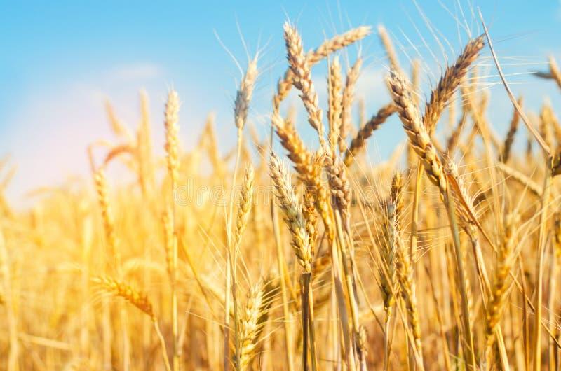 Transitoire de blé et plan rapproché de ciel bleu Une zone d'or Belle vue symbole de récolte et de fertilité Moisson, pain image libre de droits