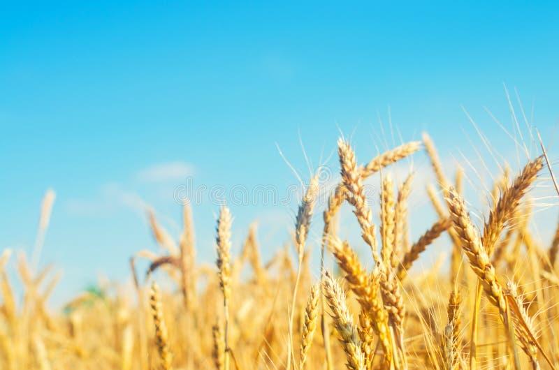 Transitoire de blé et plan rapproché de ciel bleu Une zone d'or Belle vue symbole de récolte et de fertilité Moisson, pain images libres de droits