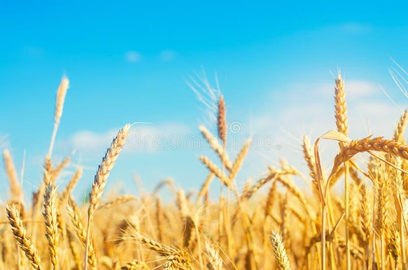 Transitoire de blé et plan rapproché de ciel bleu Une zone d'or Belle vue symbole de récolte et de fertilité Moisson, pain image stock