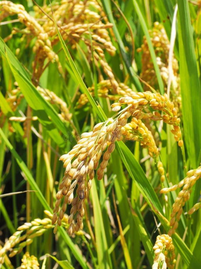 Transitoire de riz images libres de droits