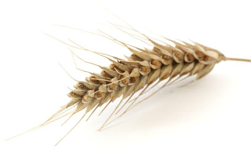 Transitoire simple de blé image stock