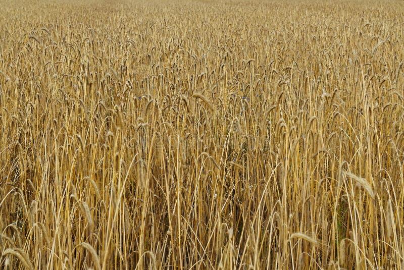 Transitoires de blé attendant la culture sur le champ photo stock