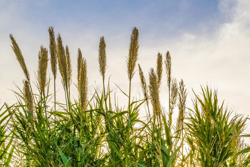 Transitoires de blé au-dessus de fond de ciel photos libres de droits