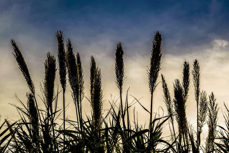 Transitoires de blé au-dessus de fond de ciel image libre de droits