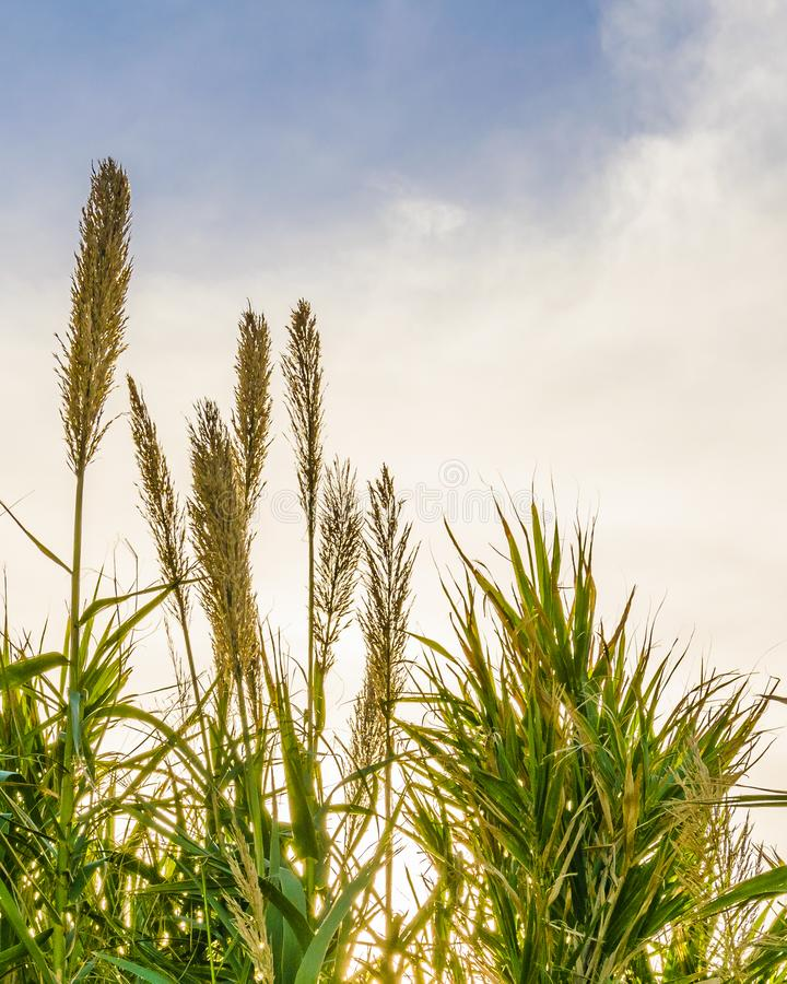Transitoires de blé au-dessus de fond de ciel photo stock