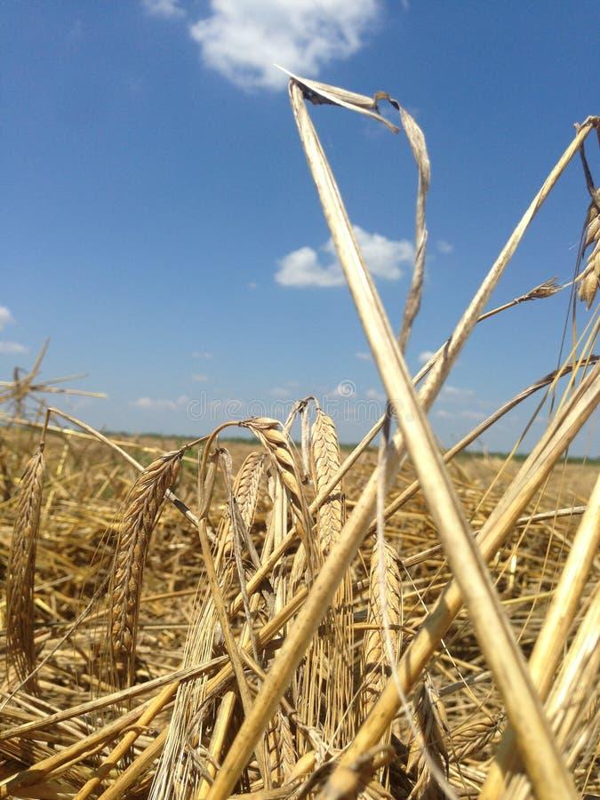 transitoires de blé prêtes pour la récolte la fin de l'été Champ brouillé comme fond images libres de droits