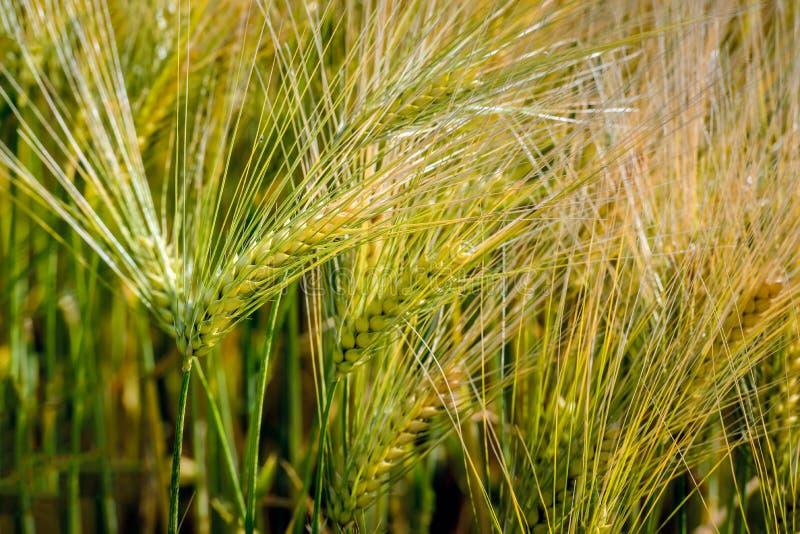 Transitoires de maturation de blé d'Einkorn de fin images stock