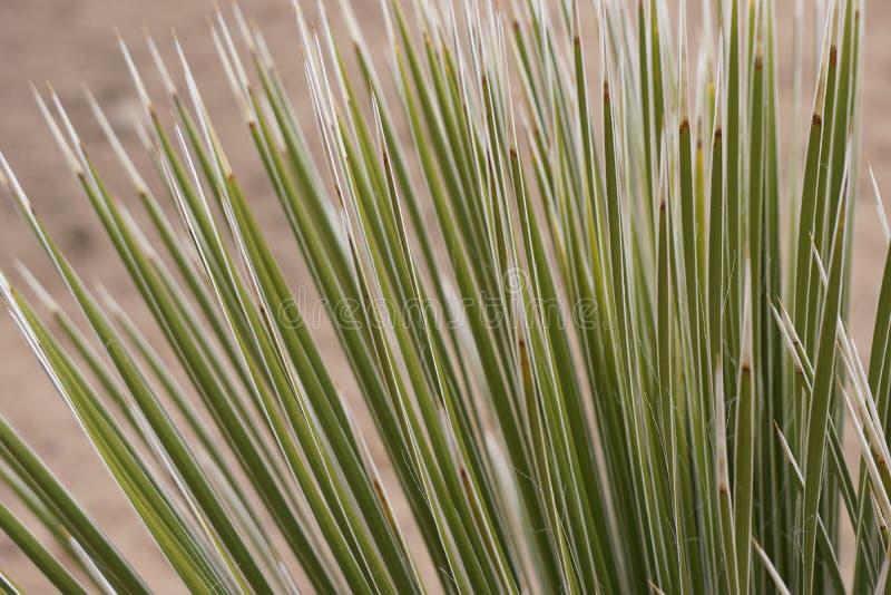 Transitoires de yucca photos stock