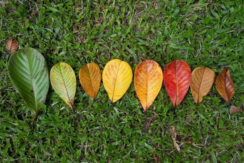 Transizione della foglia di Autumn Maple e concetto di variazione per la caduta ed il cambiamento della stagione fotografie stock libere da diritti