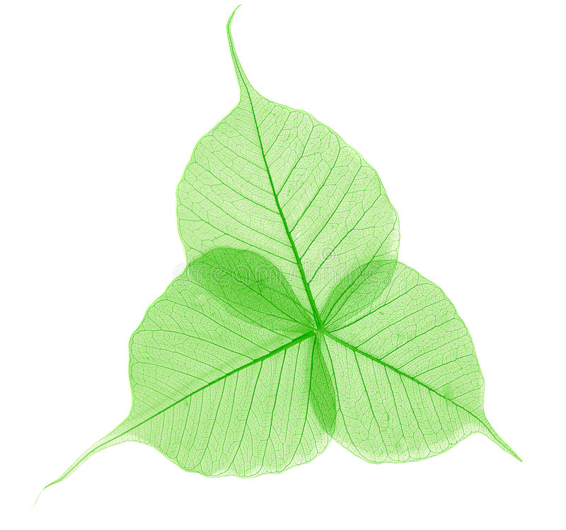 Translucent green leaves. Three translucent green leaves arranged and slightly overlapping on white background stock photography
