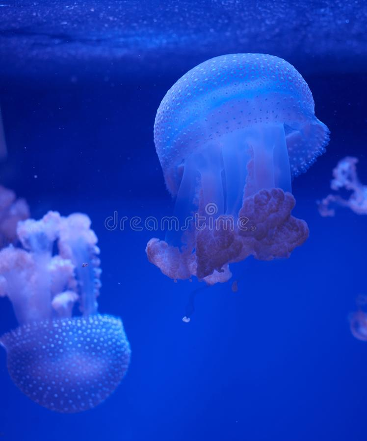 Translucent jellyfish or medusa ornettle-fish. Translucent jellyfish or medusa or nettle-fish in blue water royalty free stock images