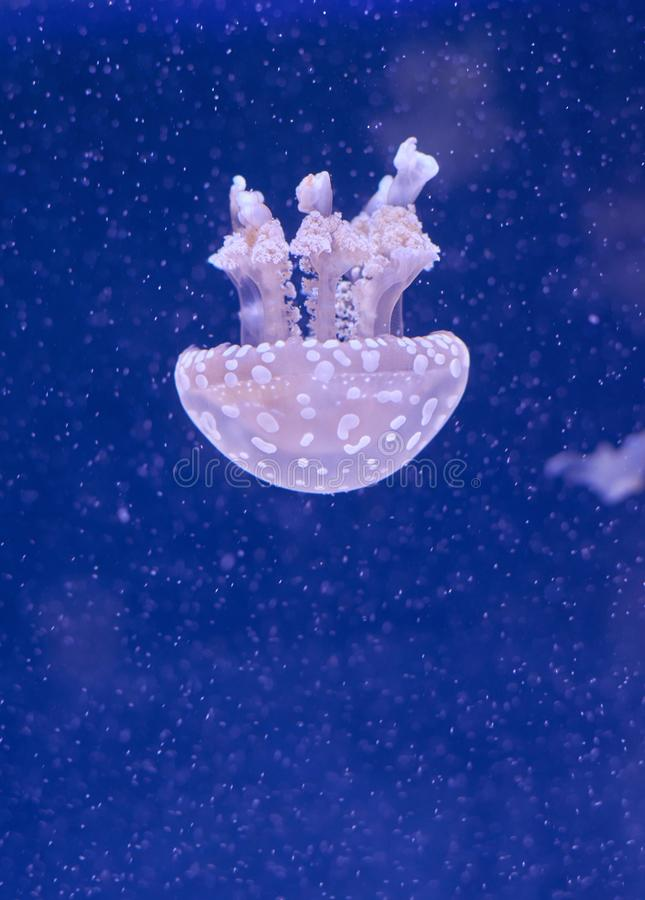 Translucent jellyfish or medusa ornettle-fish. Translucent jellyfish or medusa or nettle-fish in blue water royalty free stock photos