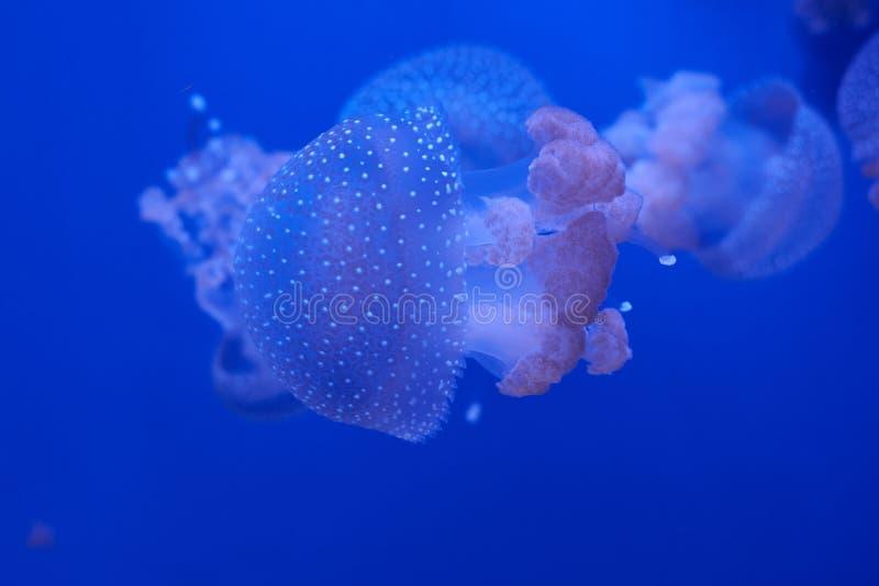 Translucent jellyfish or medusa ornettle-fish. Translucent jellyfish or medusa or nettle-fish in blue water stock photography