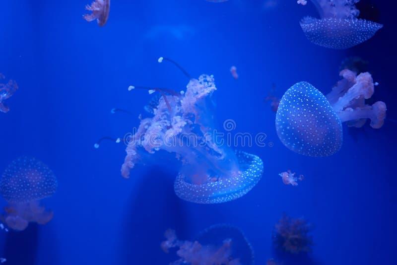 Translucent jellyfish or medusa ornettle-fish. Translucent jellyfish or medusa or nettle-fish in blue water stock images
