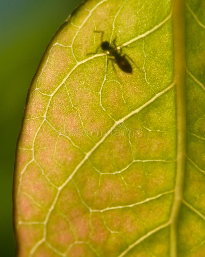 Download A Translucent Leaf With Ant Stock Image - Image of leaf, blueberry: 25597535