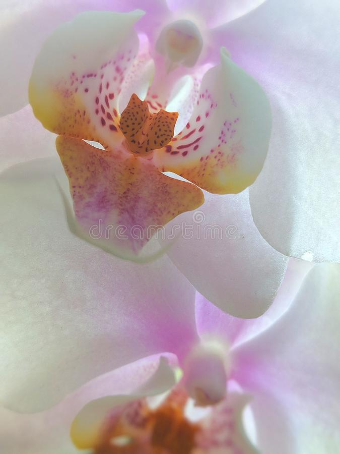 Translucent orchid. Pink, white, yellow, flower royalty free stock photos