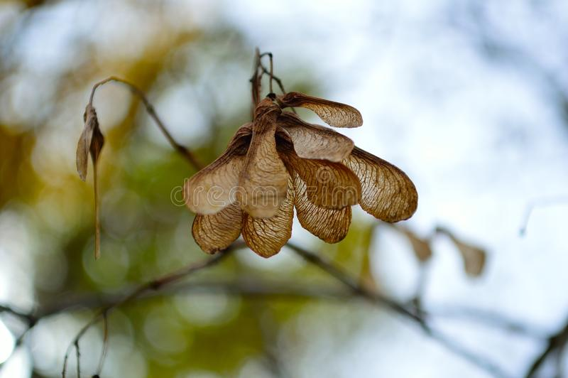 Download Maple Seed Cluster Aceraceae Family Stock Image - Image of branch, outdoors: 103639439
