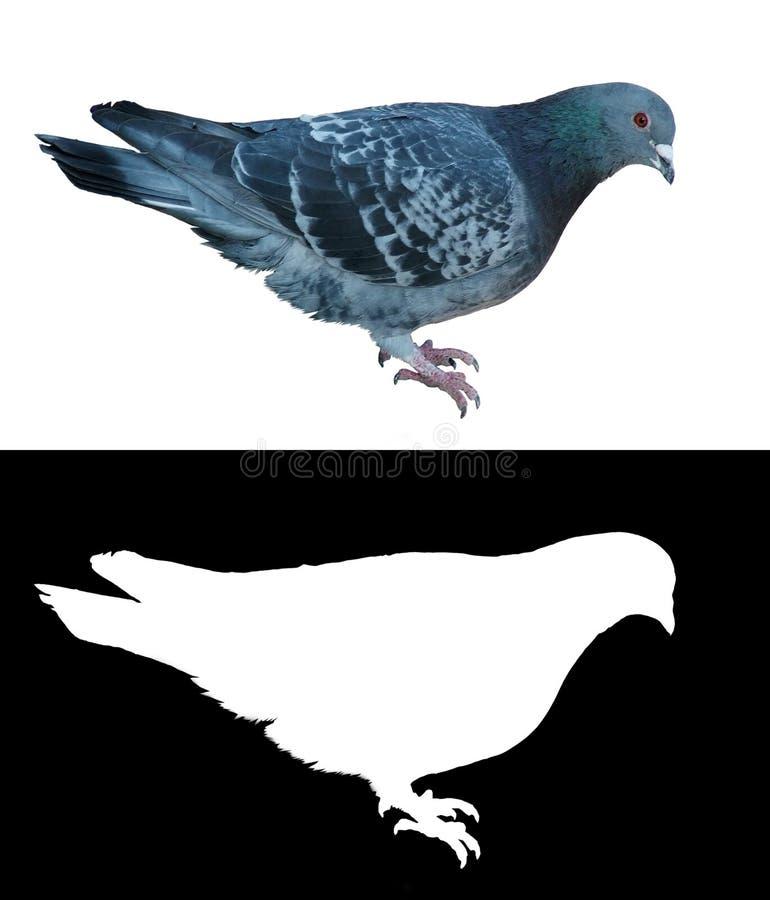 Transparência isolada de w do pombo ilustração do vetor