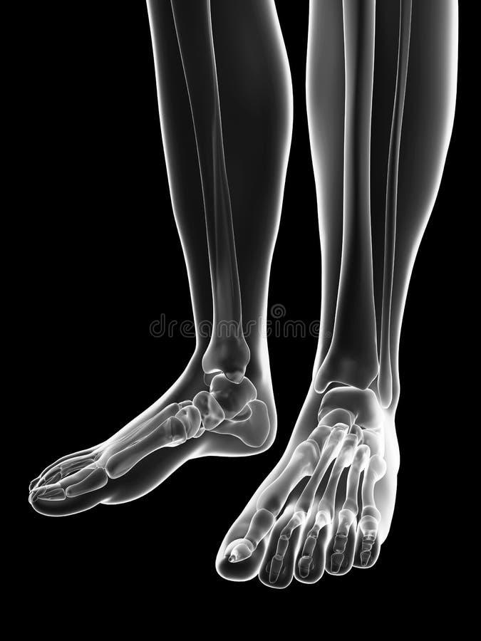 Transparant vrouwelijk skelet - voetbeenderen vector illustratie