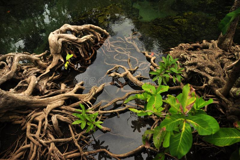 Transparant water in wilde tropische vijver of rivier, van boven schot van duidelijk water in klein meer met rond de wortels van  royalty-vrije stock afbeeldingen