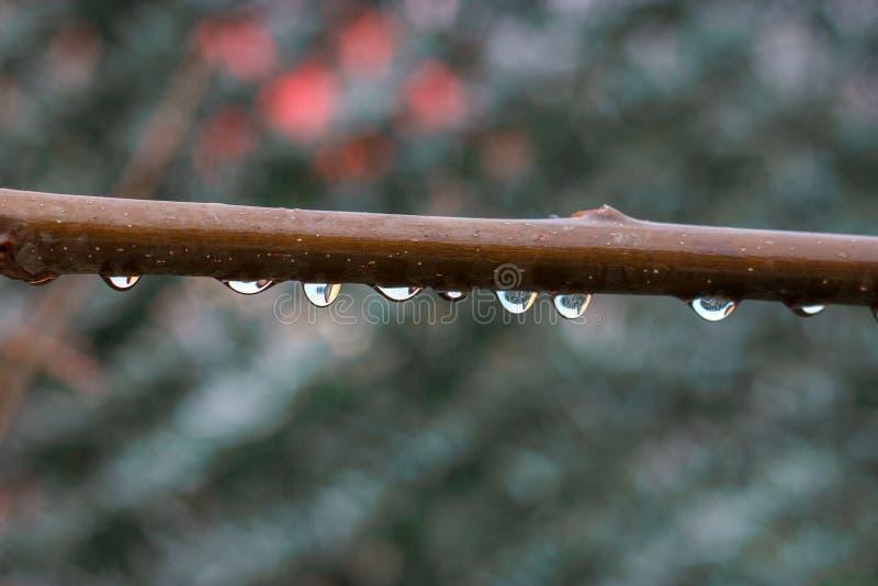 Transparante waterdruppeltjes op een tak royalty-vrije stock afbeelding
