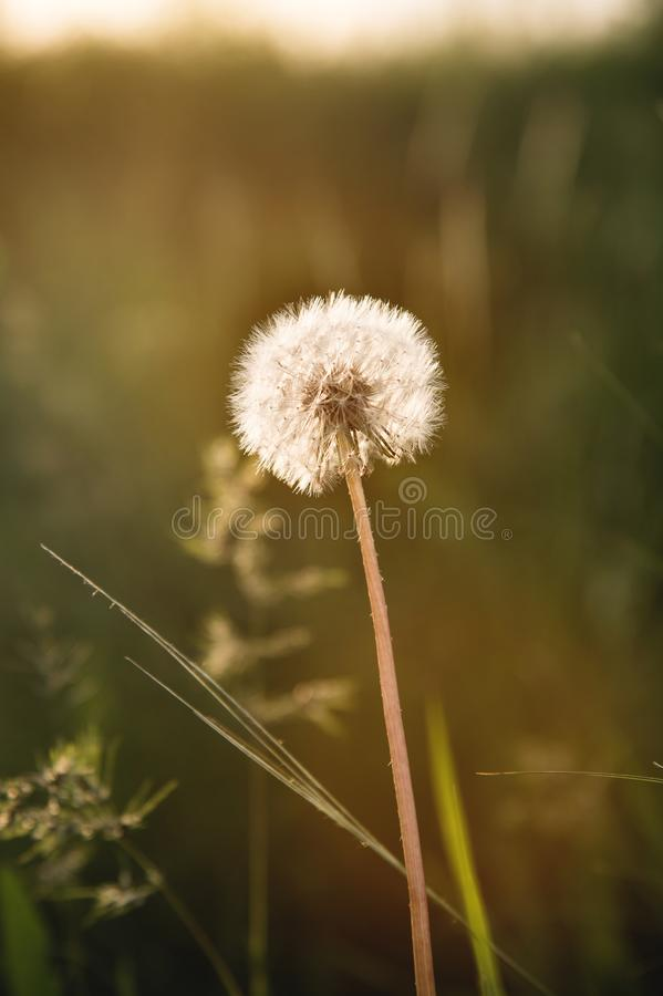 Transparent dandelion seed head at sunset in green grass close-up with highlights from the sun stock photo