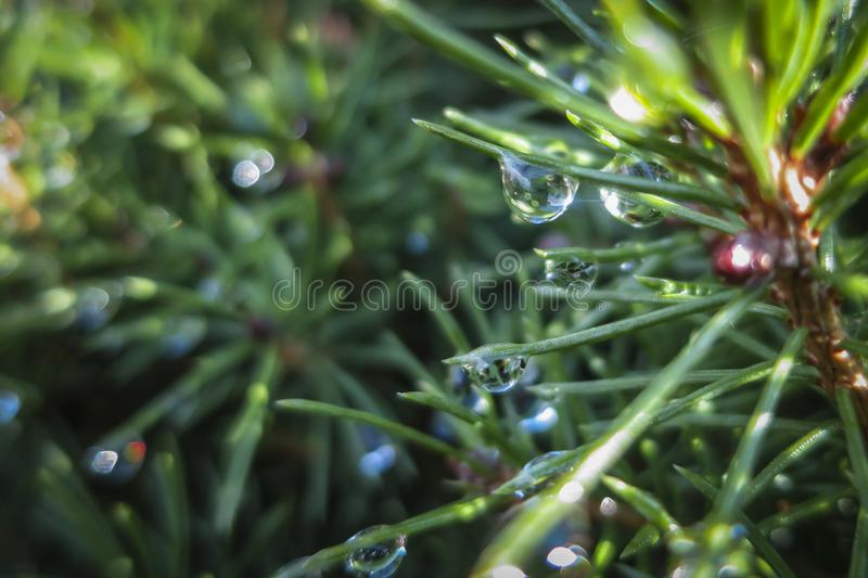 Transparent drops of freezing rain cover the needles of the Picea glauca Conica. Selective focus. Gentle winter picture royalty free stock photos