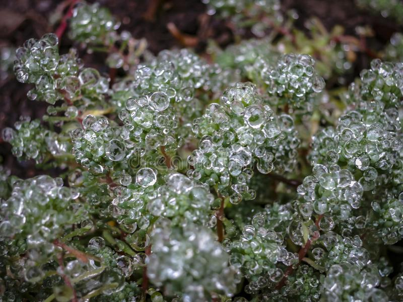Transparent drops of freezing rain cover the needles of the Sedum. Selective focus. Gentle winter picture stock photography