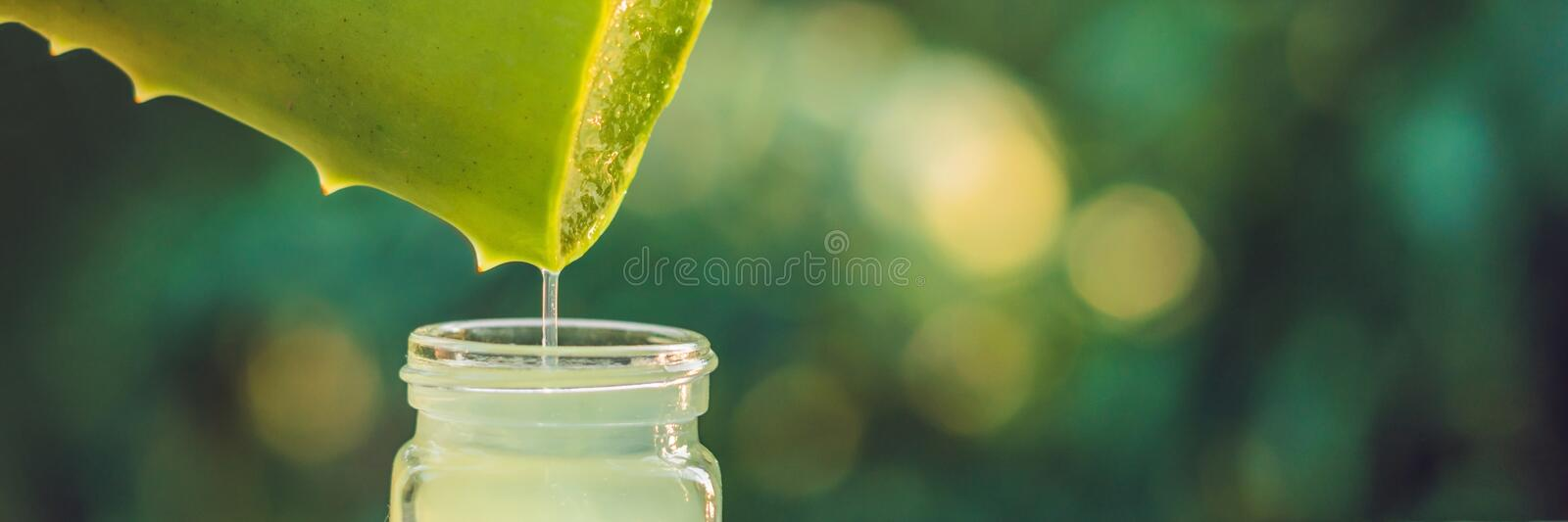 Transparent essence from aloe vera plant drips from leaves, BANNER, long format stock image