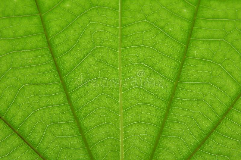 Transparent green color leaf royalty free stock photos