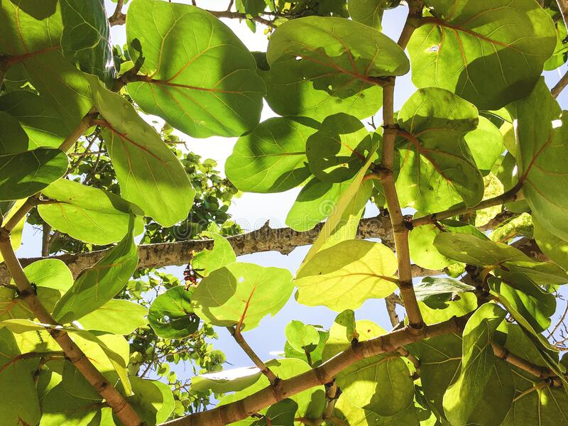 Transparent green leaves and branches of sea grapes tree. Looking up through transparent green leaves of sea grapes tree branches royalty free stock image